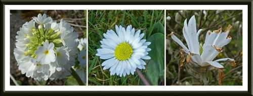 white garden flwoers