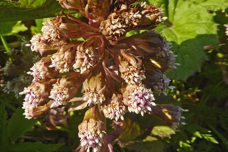 wild flower canonbie