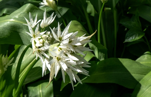 wild garlic april