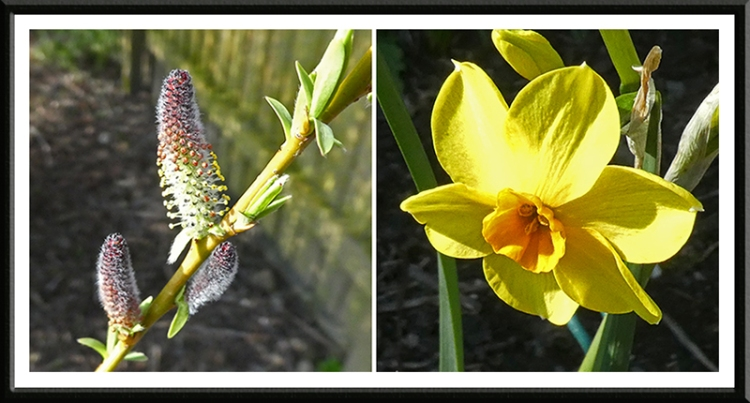 willow and daffodil