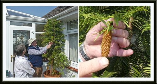 wollemi pine and gardeners