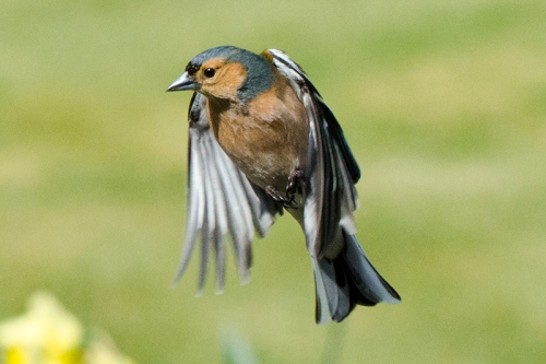 worried flying chaffinch