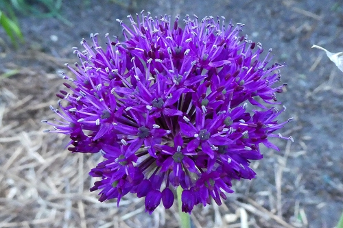 allium sphere