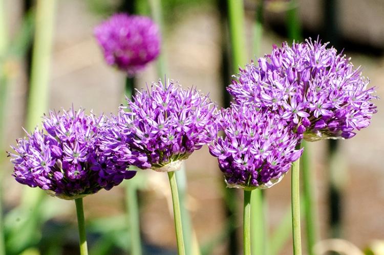 alliums in arow