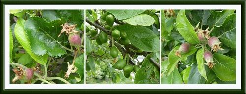 apple plum apple