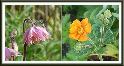 aquilegia and geum