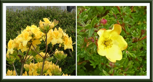 azalea and potentilla