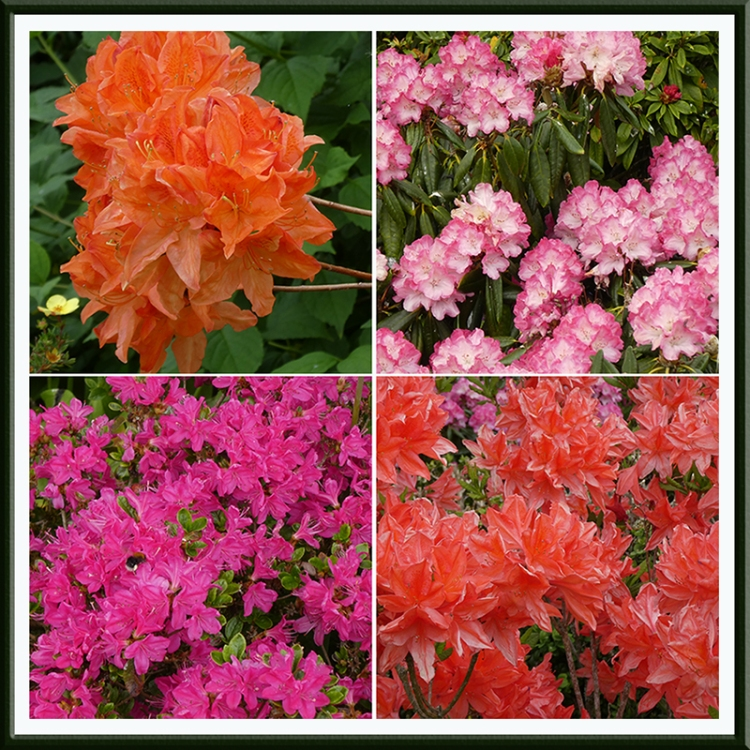 azaleas and rhodidendrons