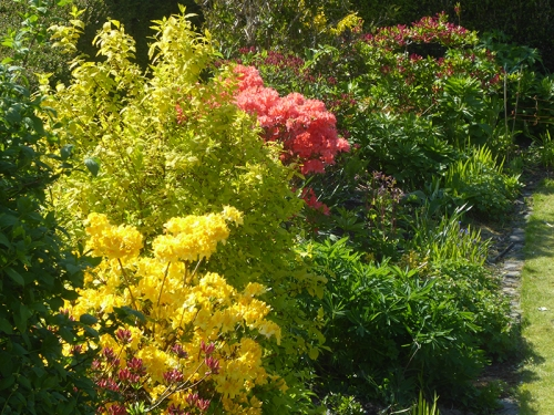 azaleas in sun
