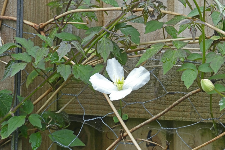 back fence clematis