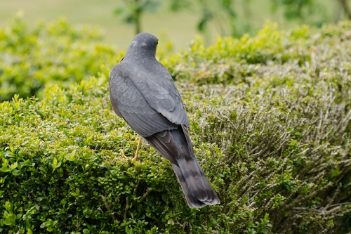 back view of sparrowhawk