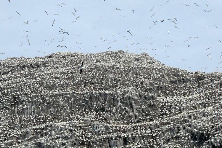 bass rck covered in gannets