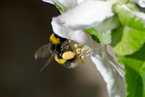 bee with full sacs