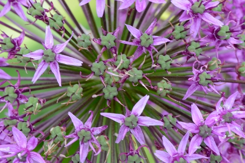 bees eye view of allium
