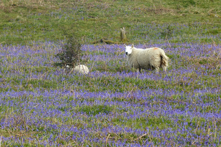 bessie bell's bluebells with sheep