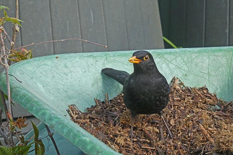 blackbird in barrow