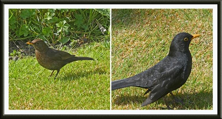 blackbird pair on lawn