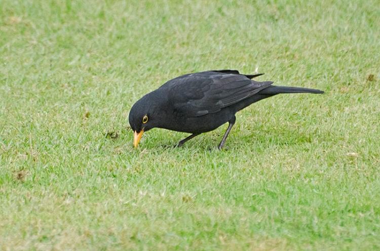 blackbird pecking lawn