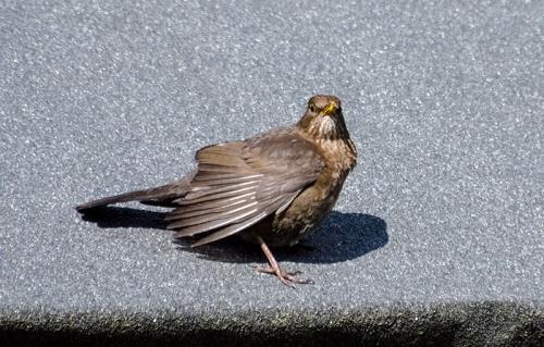 blackbirds on betty's garage