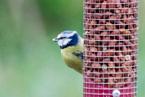 blue tit on peanuits garden