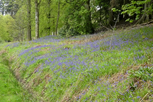 bluebells above holmhead