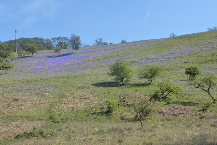 bluebells on hill