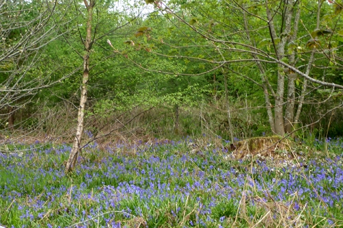 bluebells on old A7