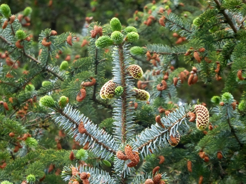 busy spruce tree