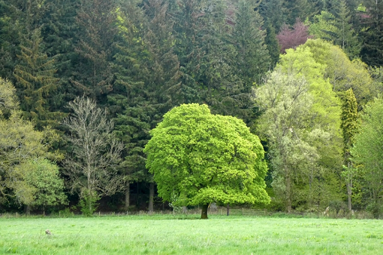 castlholm tree