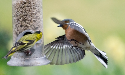 chaffinch nipping round the back