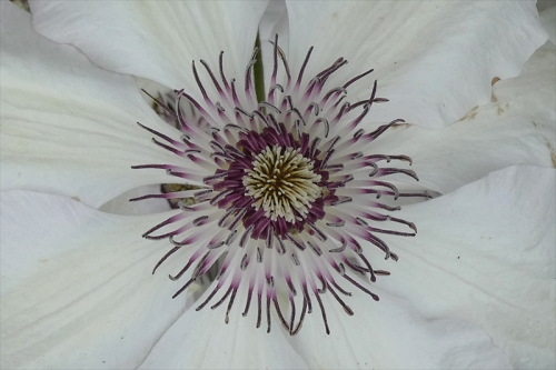 clematis centre