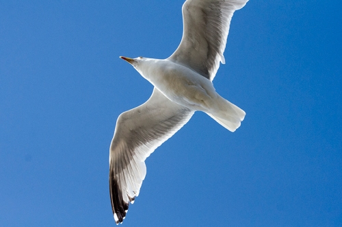 close flying gull