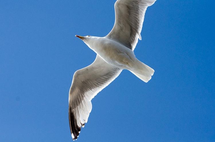 close flying gull