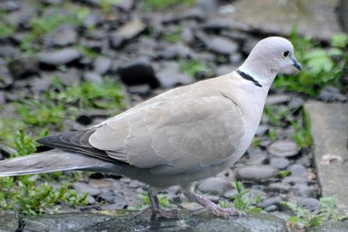 collared dove on ground