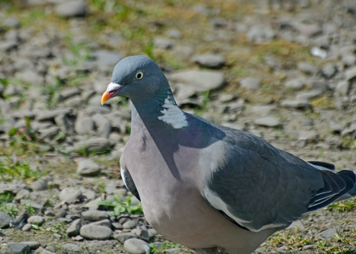 concentrating pigeon