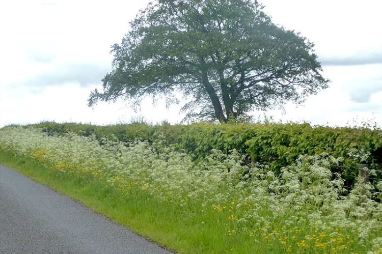 cow parsley and buttercups