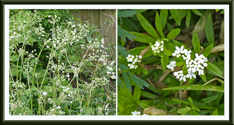 cow parsley and sweet woodruffe
