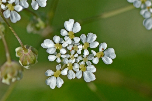 cow parsley blossom