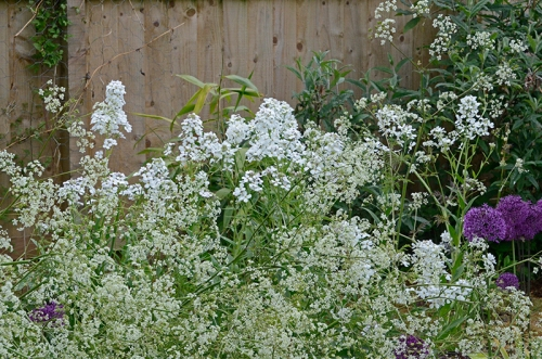 cowparsley and sweet rocket