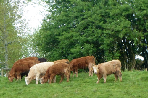 cows at Irvine House