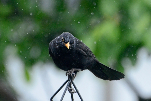 damp blackbird