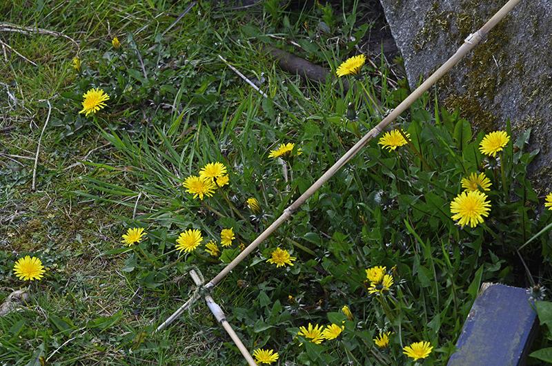 dandelions in garden