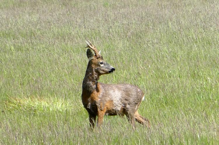 deer Archerfield