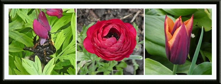dicentra, ranunculus tulip