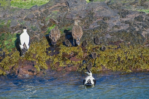 eiders going ashore