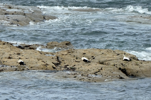 eiders on rocks