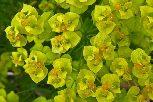 euphorbia in flower