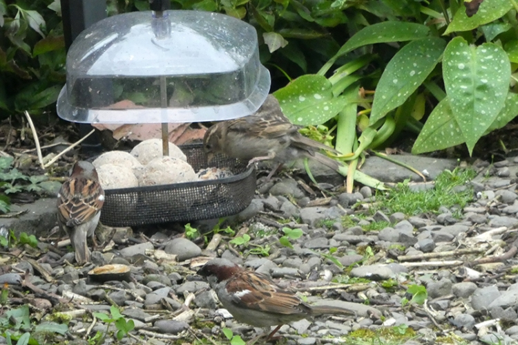 fat ball feeder with sparrows
