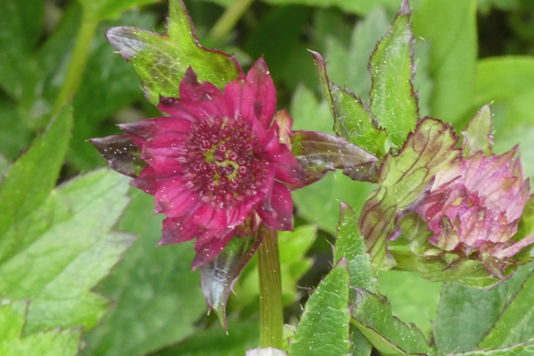 first astrantia