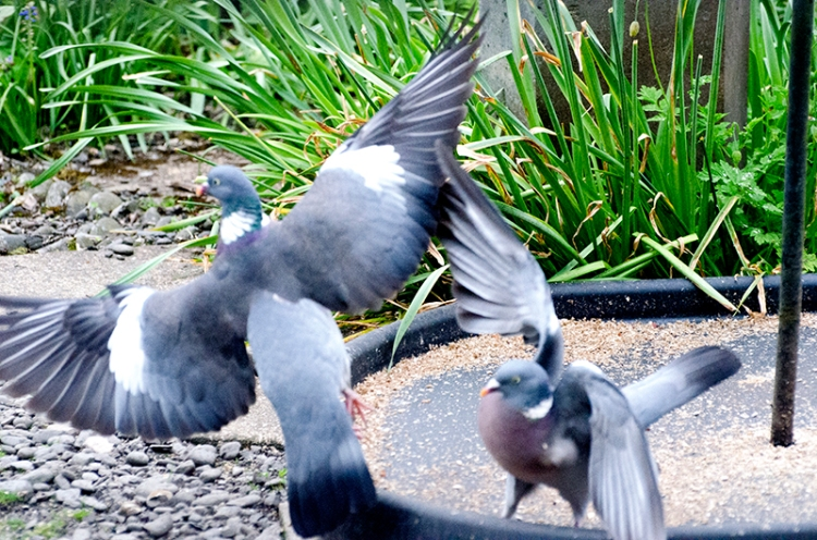 flapping pigeons
